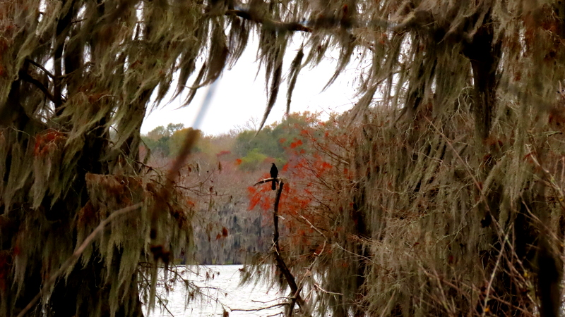 Anhinga Framed in Spanish Moss