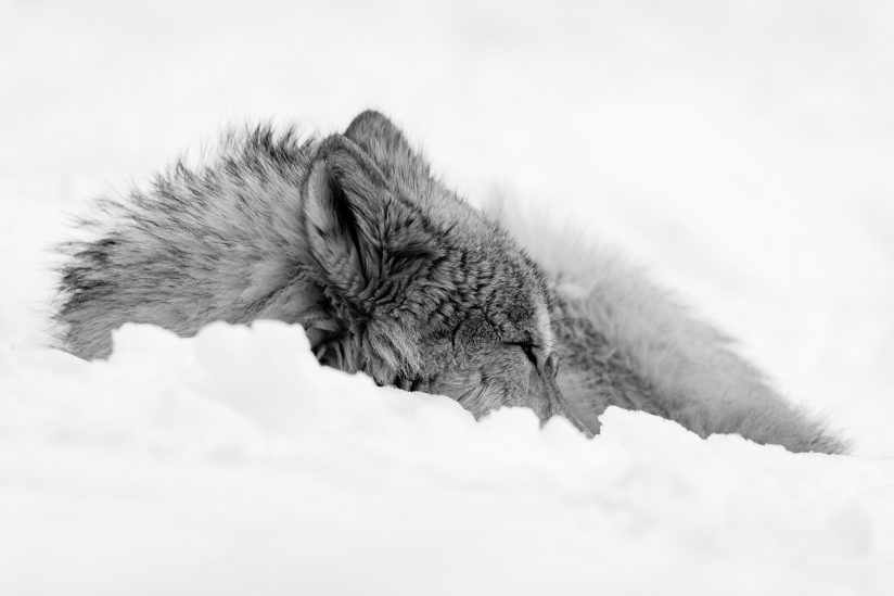 Wolf Pup Sleeping in the Snow