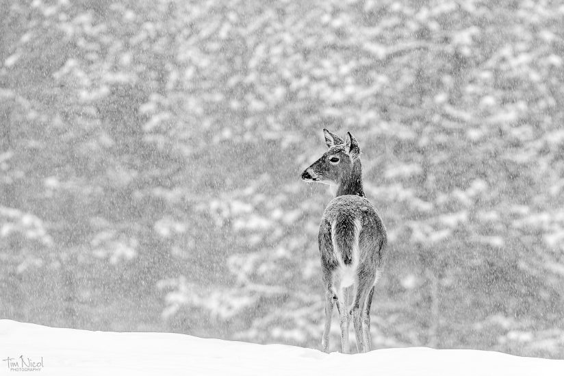 Whitetail in a Snowstorm