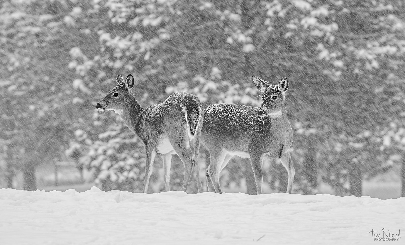 Whitetails in a Snowstorm