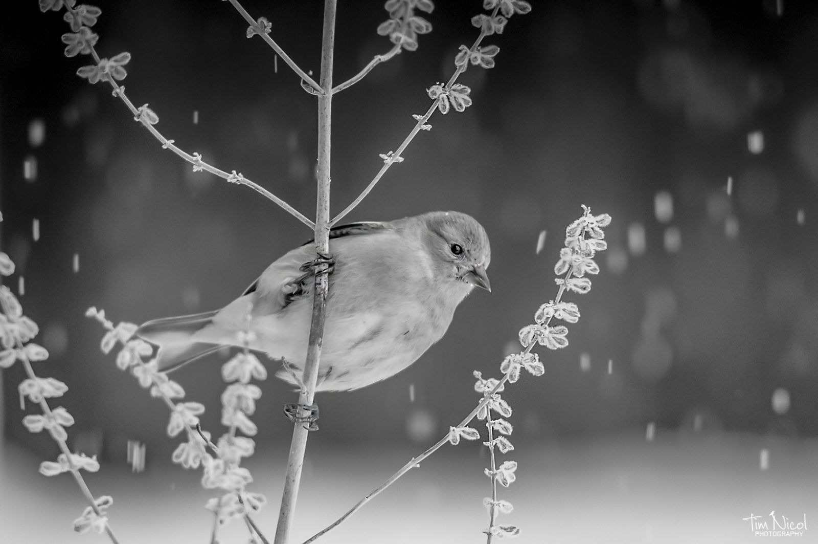 Goldfinch in the Snowfall
