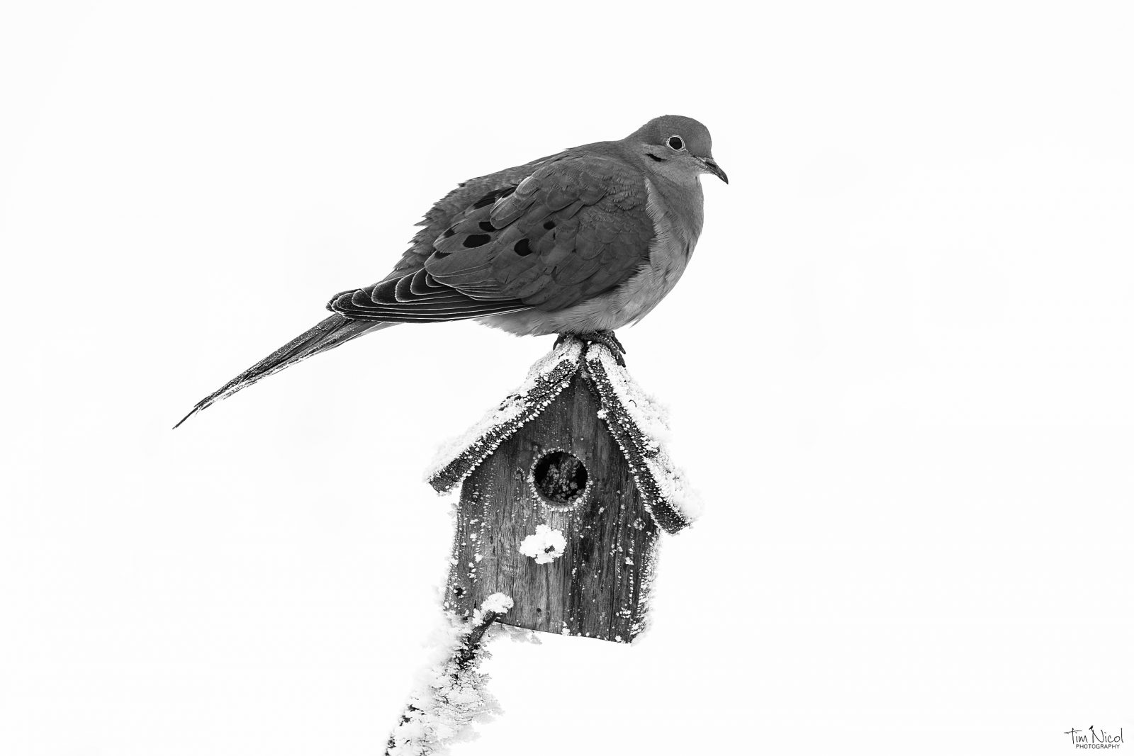 Mourning Dove in the Snow