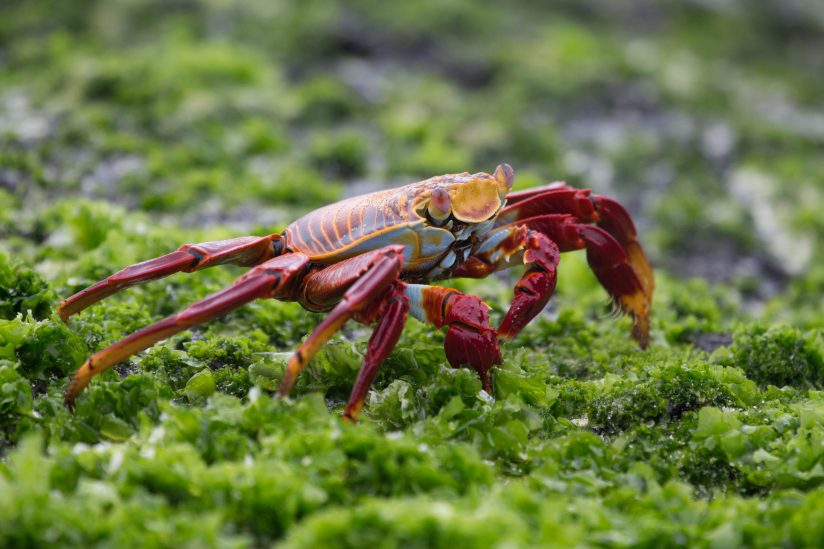 Sally Lightfoot Crab with Algae
