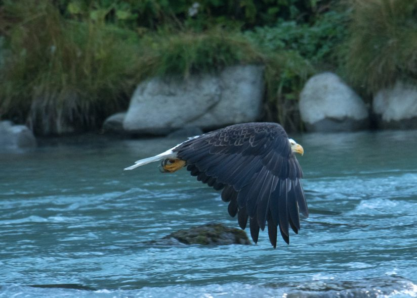 Eagle over the Chilkoot