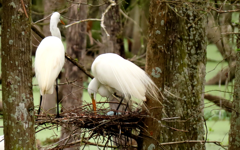 Great White Egrets & Their Blue Eggs