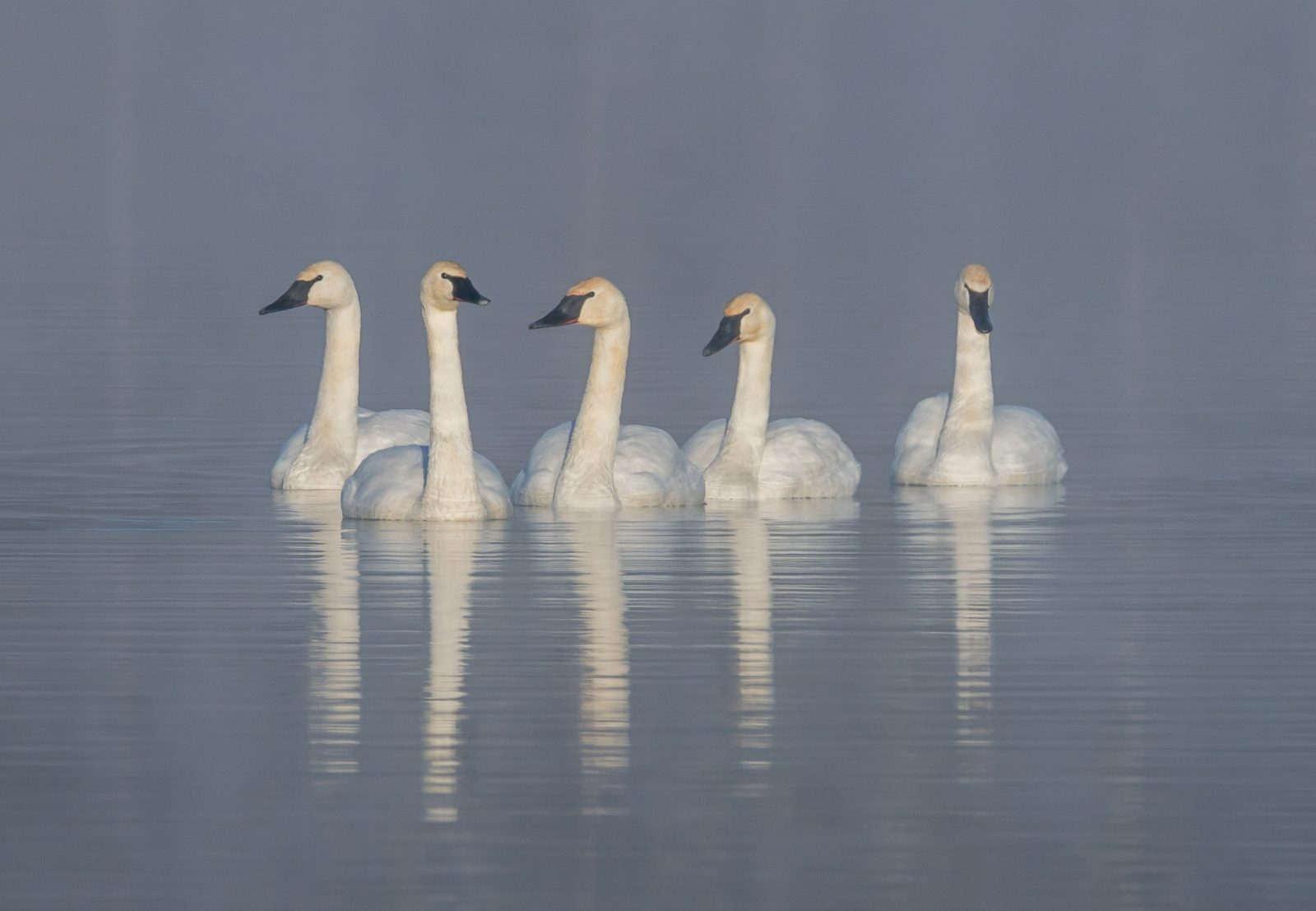 Wild Trumpeter Swans at 8 degrees