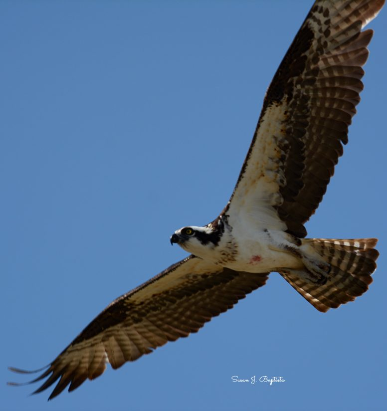 Osprey Flies