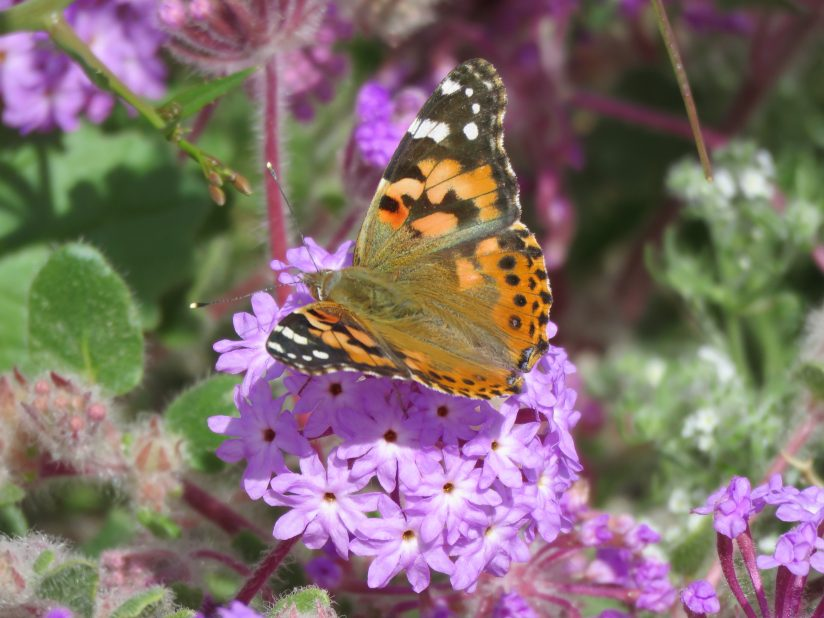 Sand Verbena and Painted Lady
