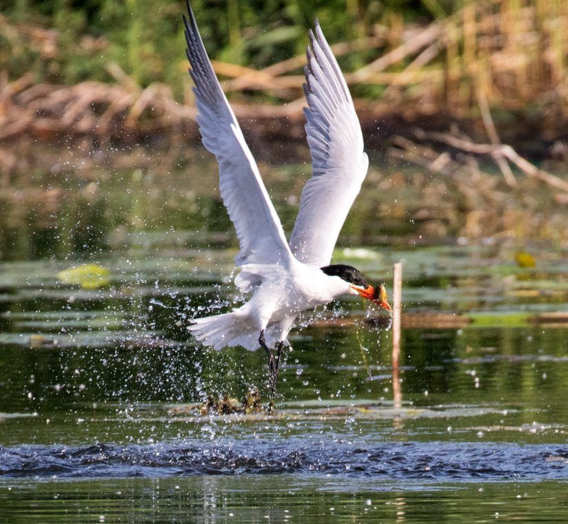 Tern with Fresh Fish Catch