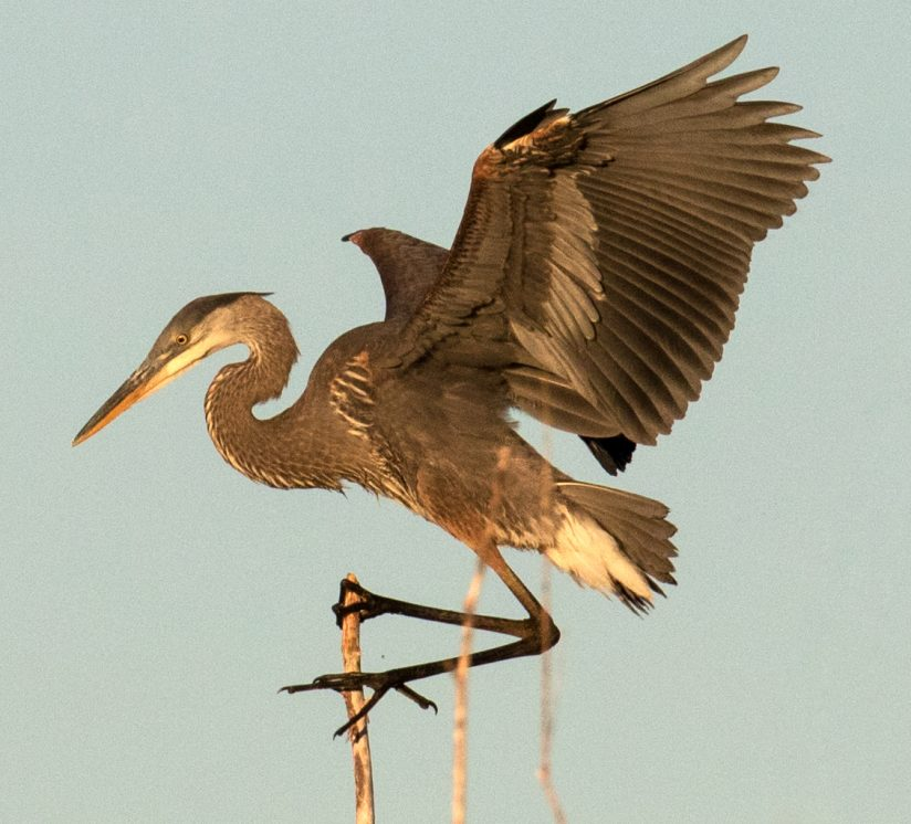 Great Blue Heron Balancing Act