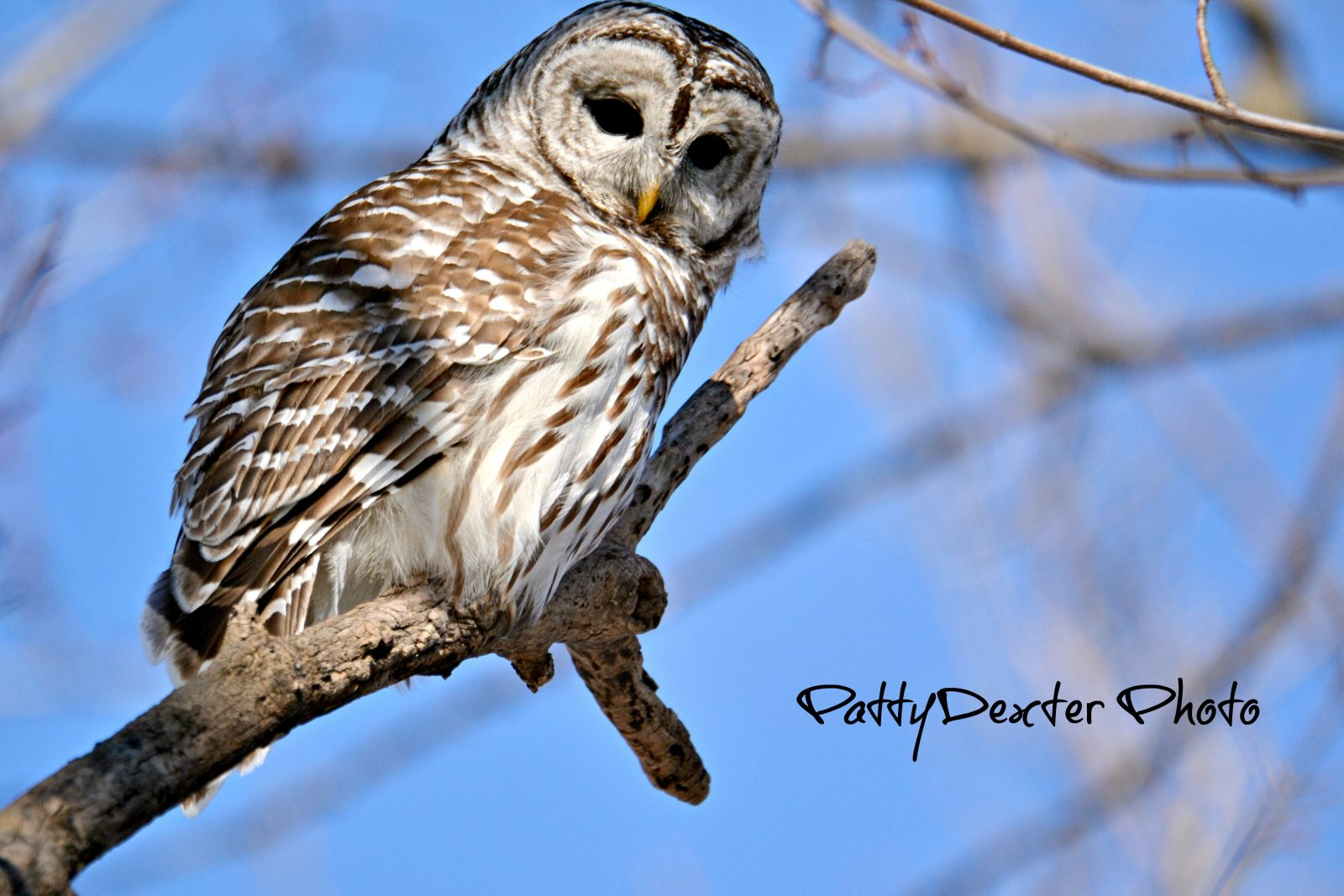Barred owl watching me