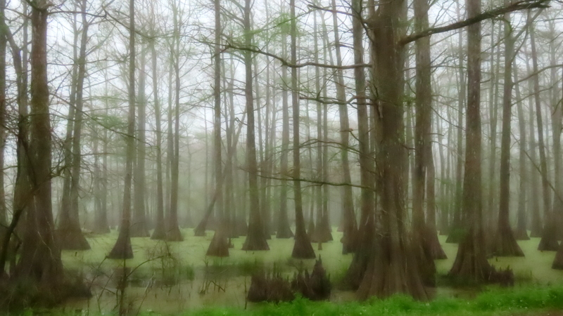 Foggy Spring Morning in the Swamp