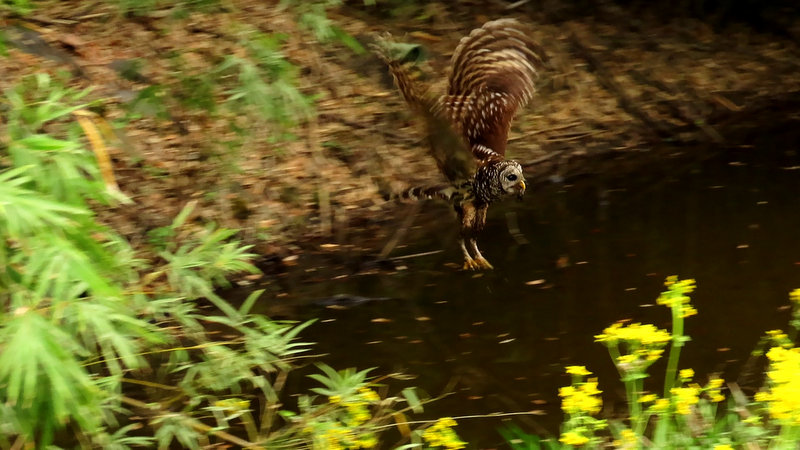 Barred Owl With a Crawfish