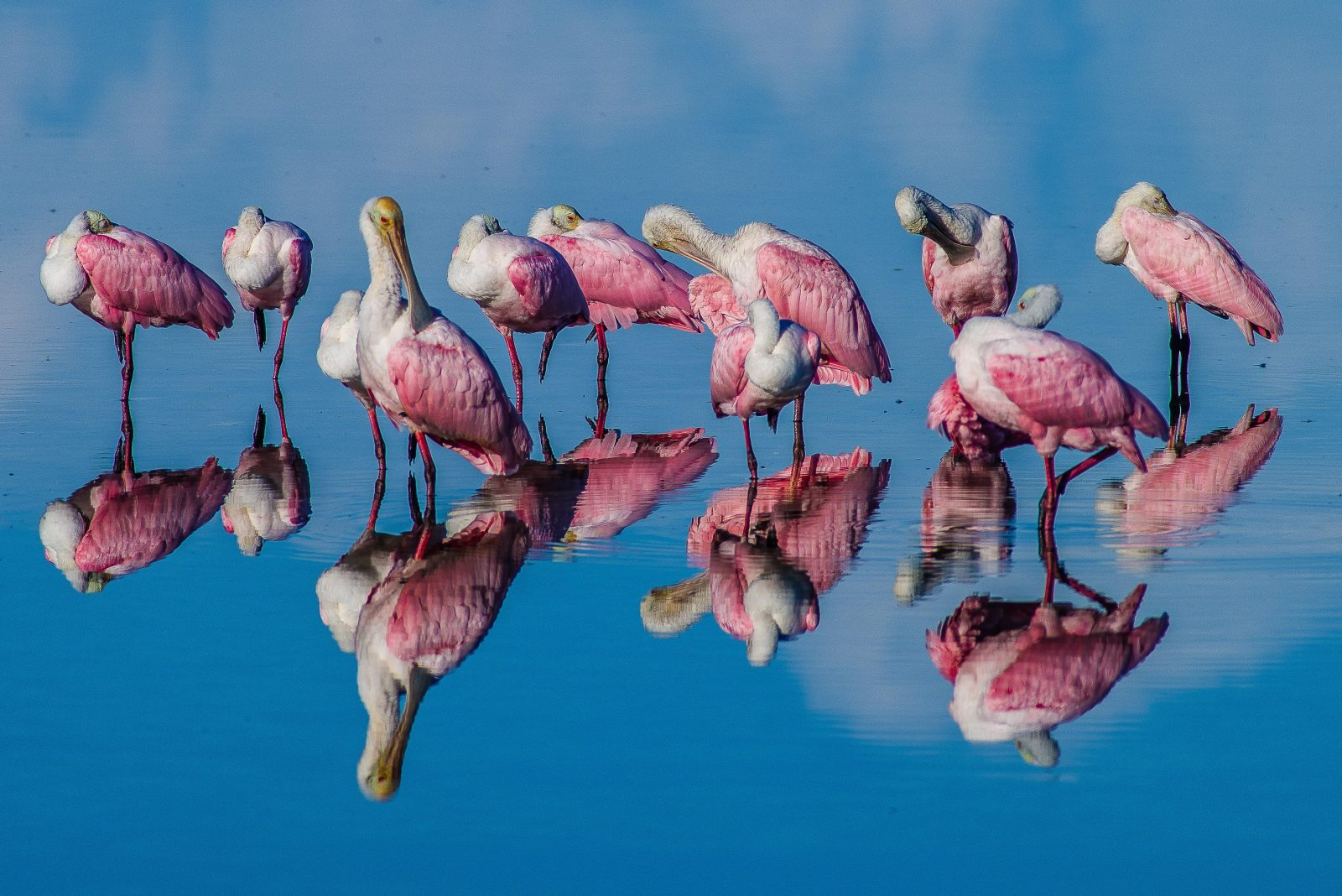 Rosette Spoonbills with reflections from early morning light