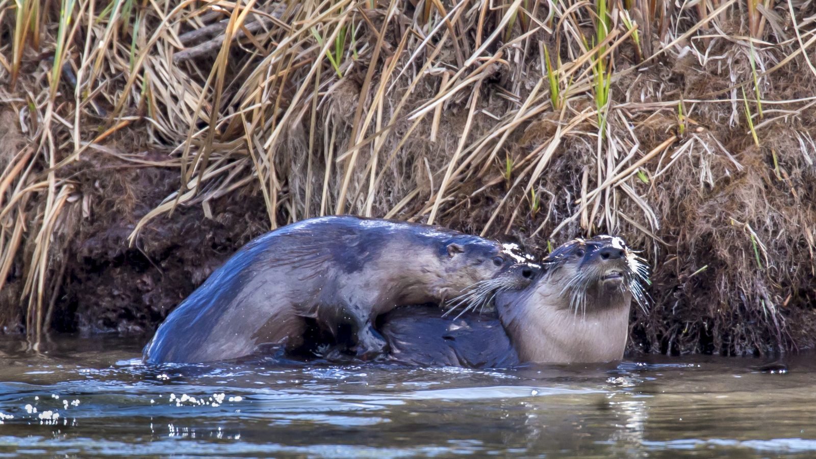 Mating River Otters