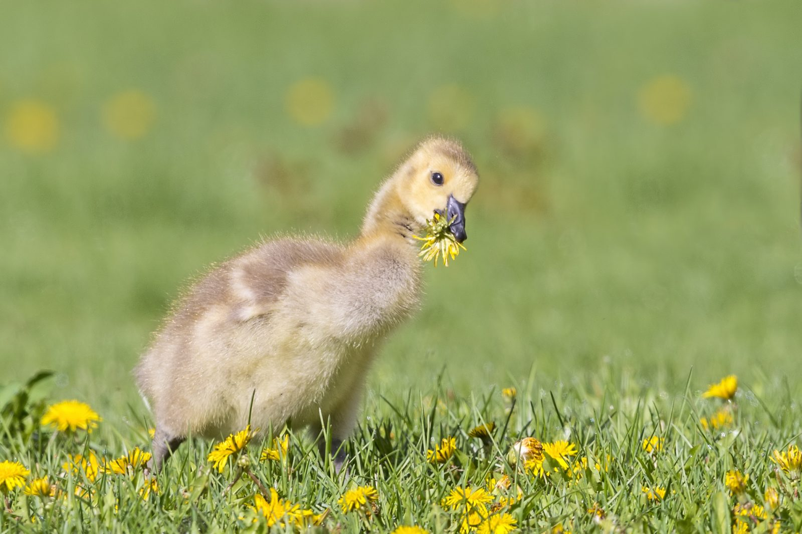Gosling Playing in Spring Flowers