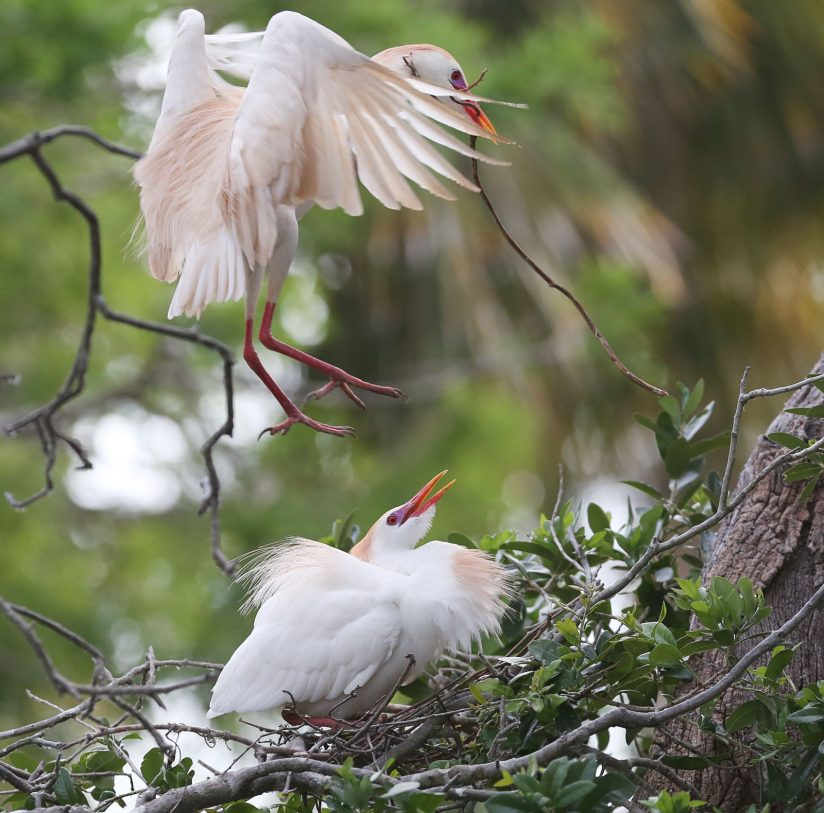 Cattle Egrets Nestings