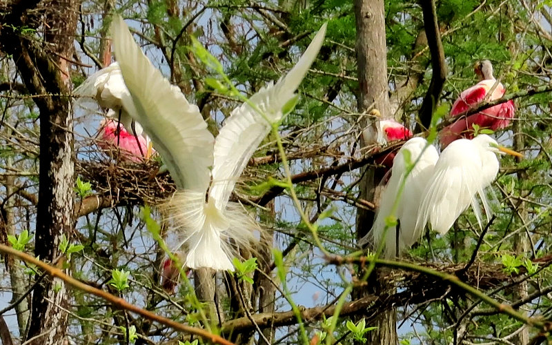 Roseate Spoonbills & Great White Egrets