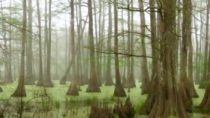 Foggy Cypress Swamp