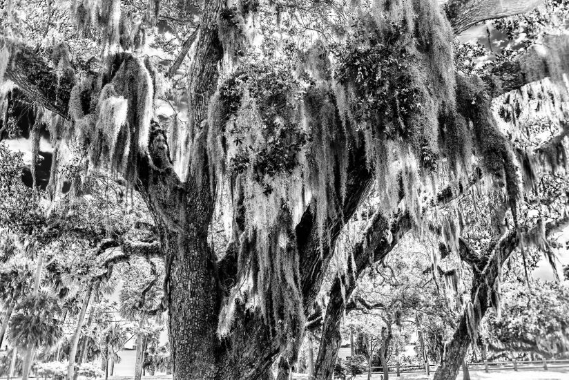 Spanish Moss on Live Oak