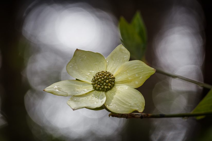 Spring Shower Dogwood