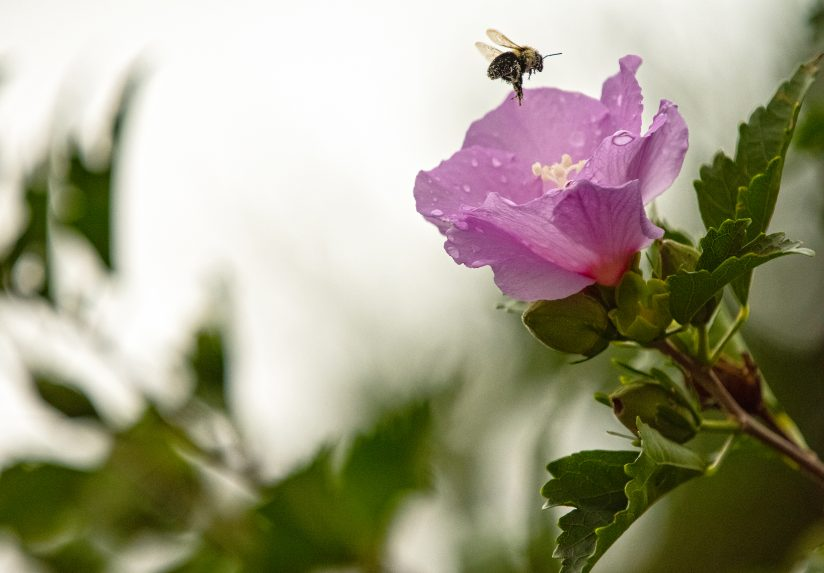 Bumble Enroute to Rose of Sharon in Rain