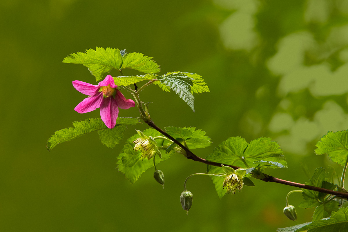 Salmonberry Bloom