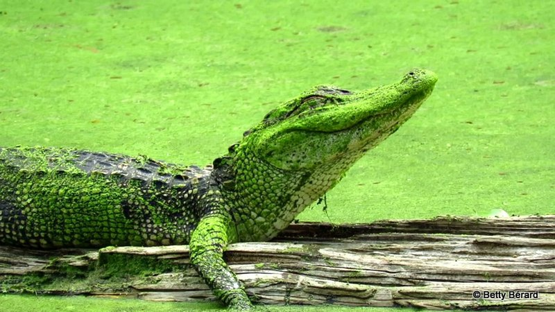 Sleepy Alligator Covered in Duckweed