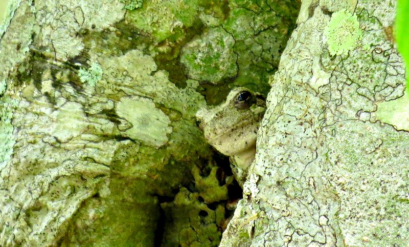 Tiny, Camouflaged, Tree Frog