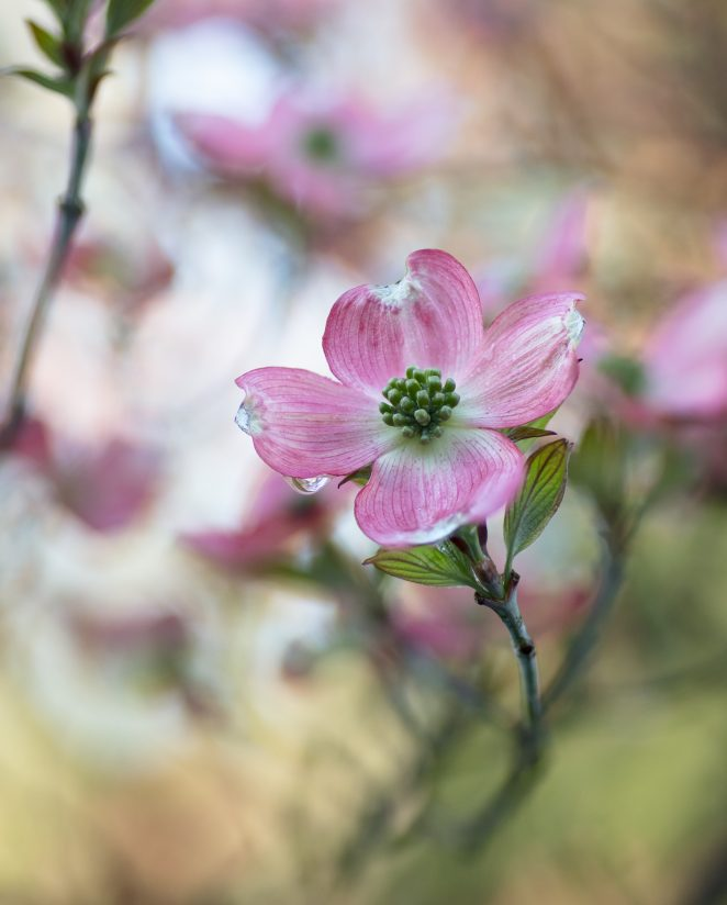 Dogwood Dreams..