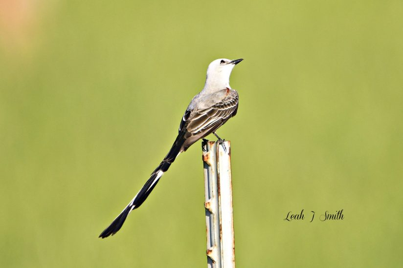 Scissor – Tailed Flycatcher