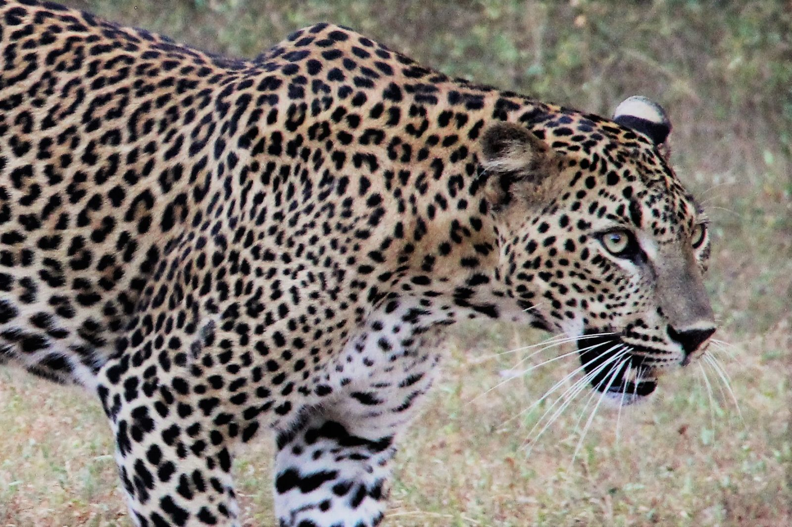 Sri Lankan Leopard Close Up