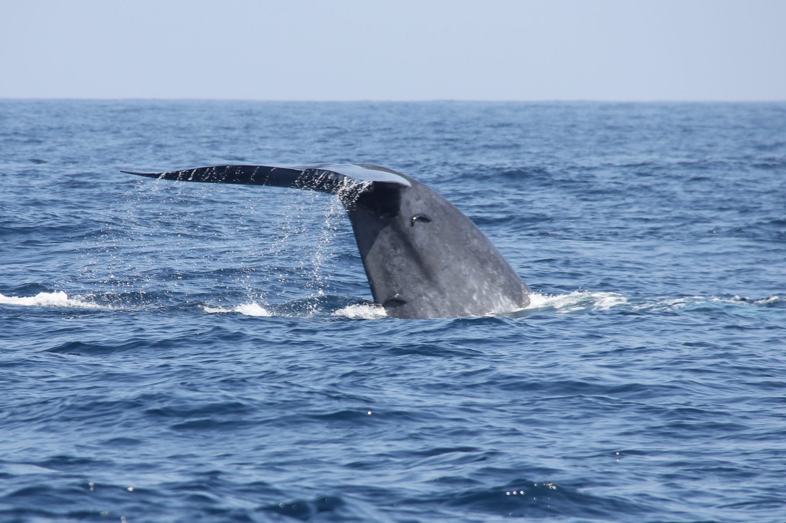 Blue Whale Tail
