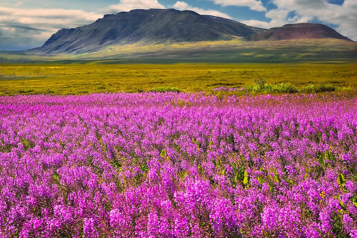 North Slope Fireweed