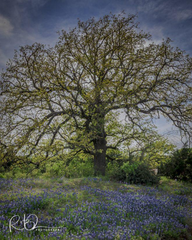 Oak and Bluebonnets