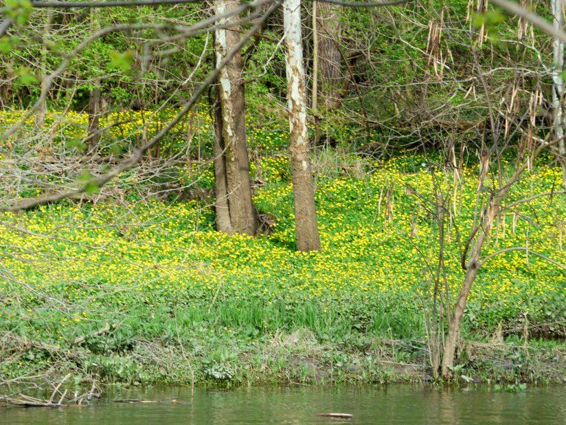 Yellow bank of wildflowers