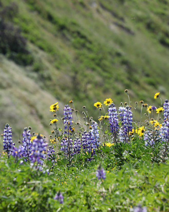 Wild Lupines in the Hills