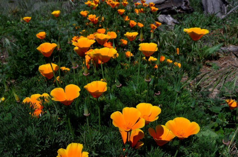 Spring Poppies (H)