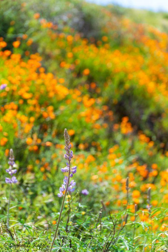 Super Bloom & Wildflowers Galore