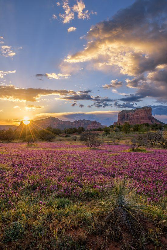 Wildflowers Aglow in Sedona 2