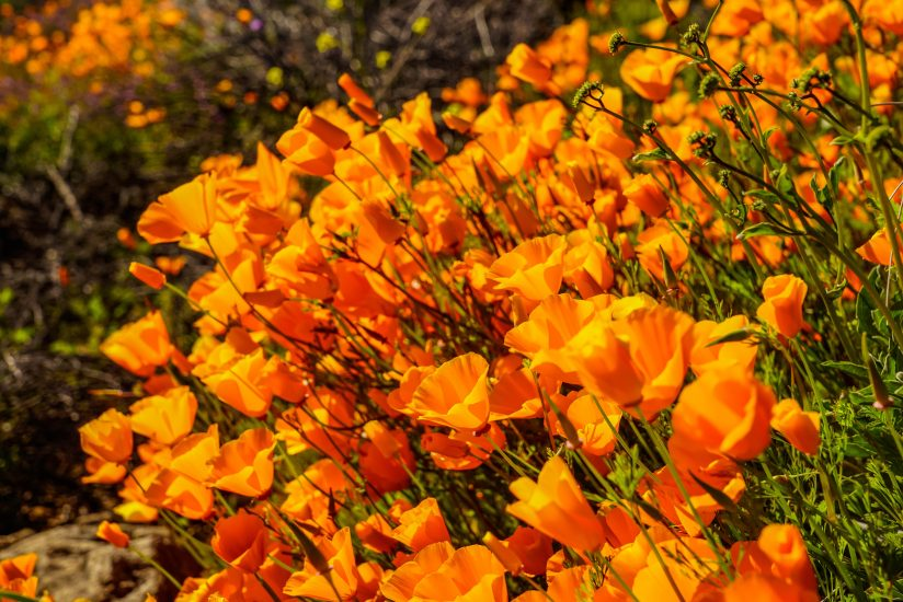 orange poppies – Southern California wild flowers