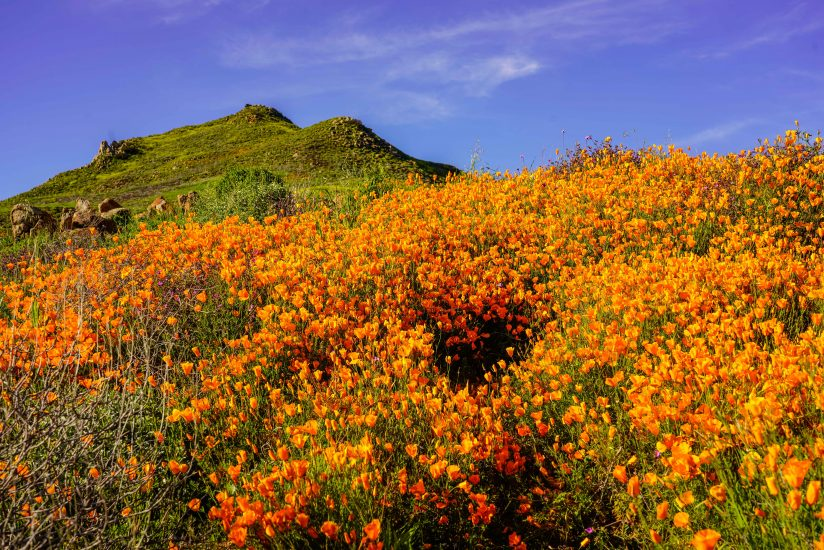 Hillside covered with poppies
