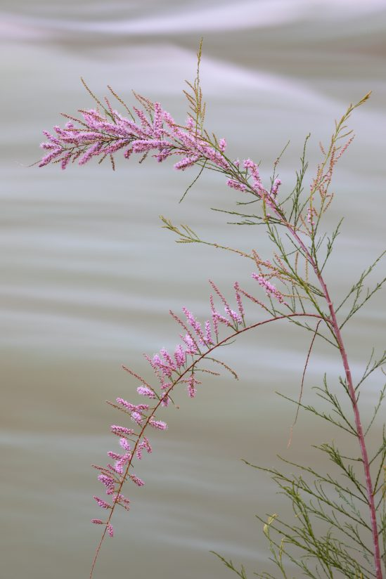 Tamarisk and the Colorado River