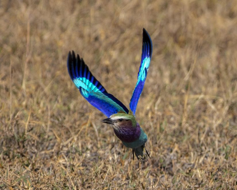 Lilac Breasted Roller – taking off