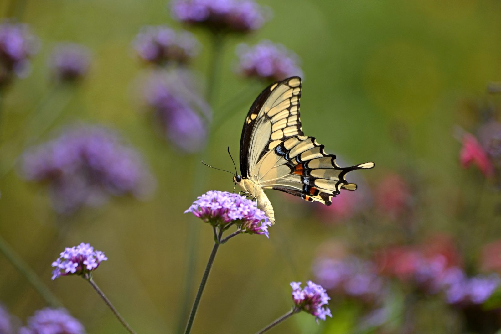 Swallowtail On Tall Verbenas