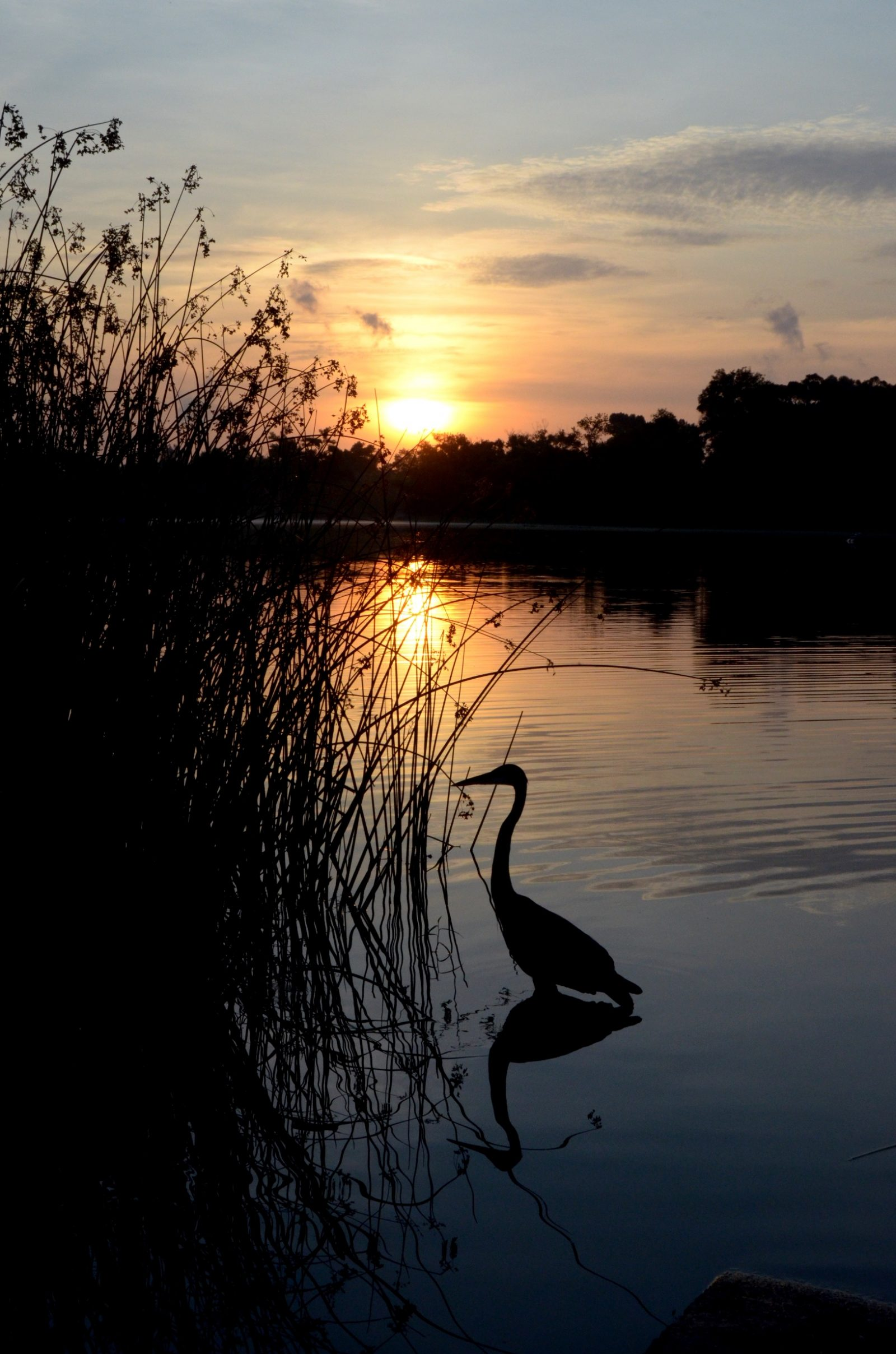 Blue Heron Sunrise (V)