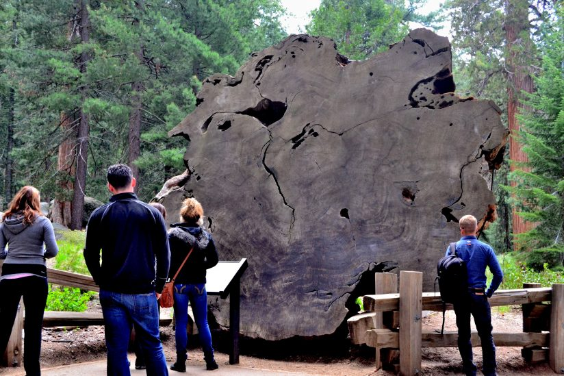 Ancient Sequoia Cross-Section