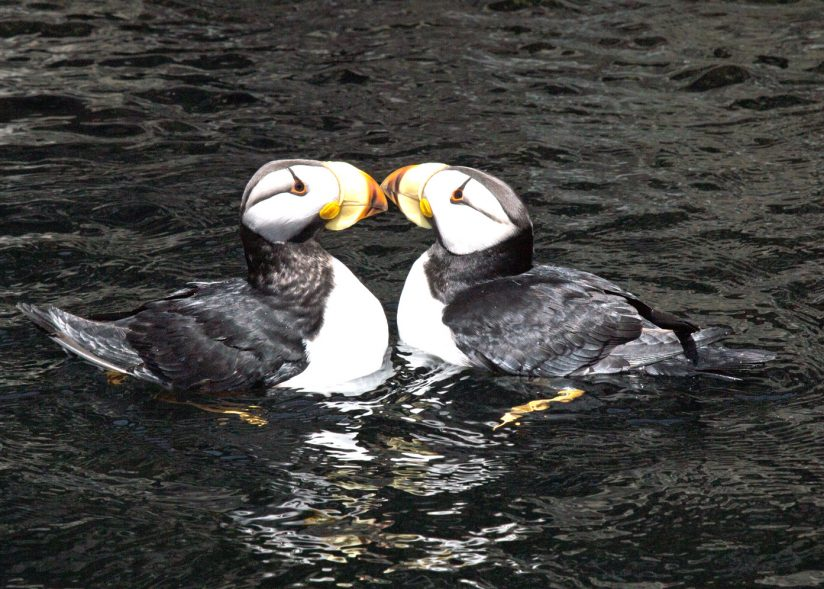 Horned Puffins having fun