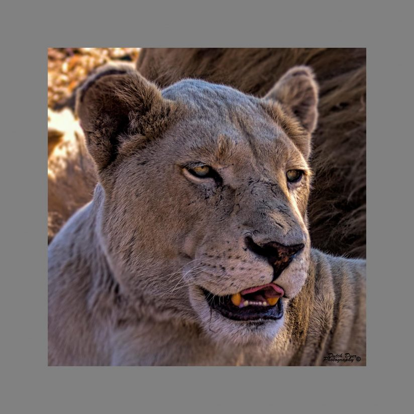 The Laughing Lioness
