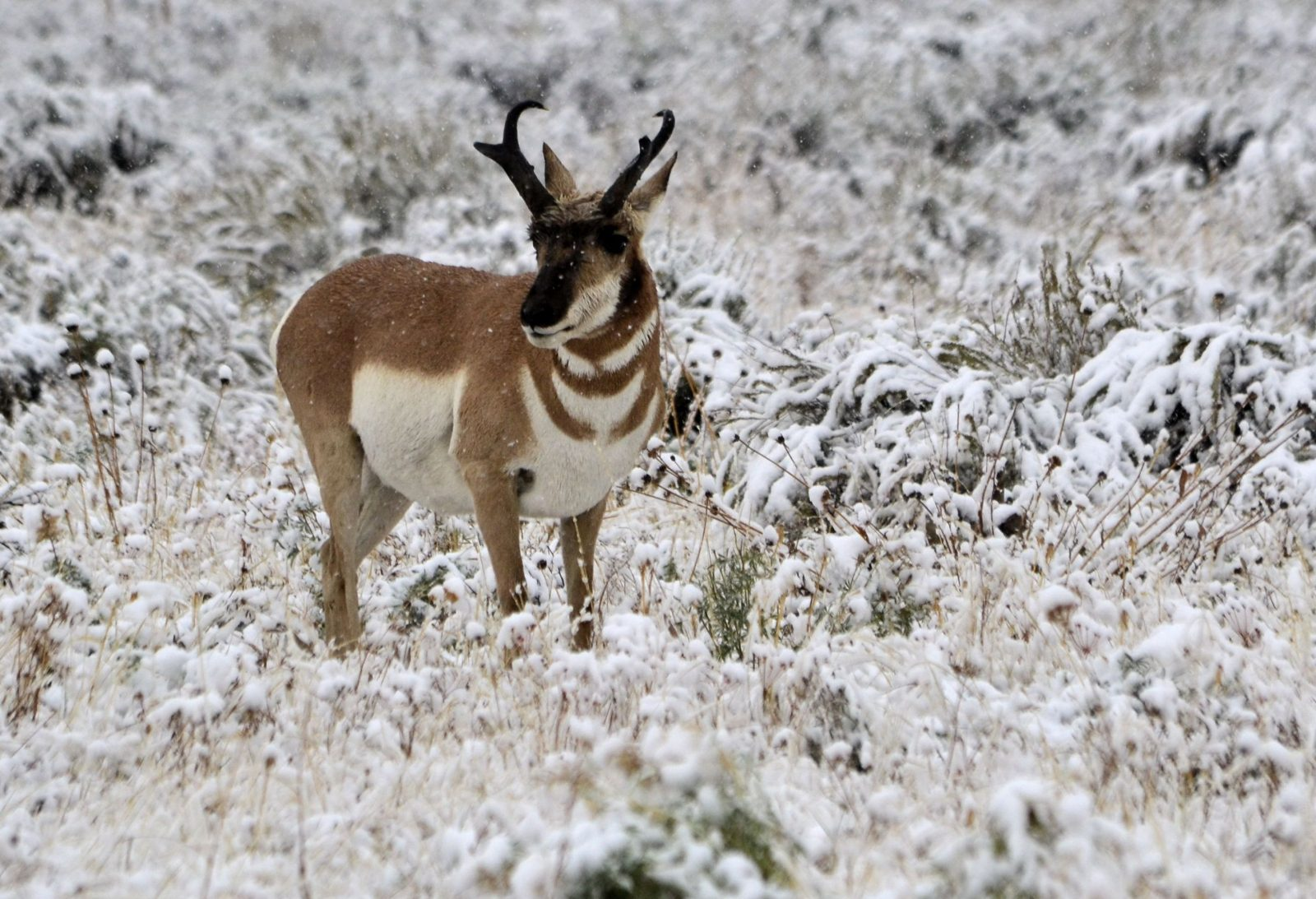 Pronghorn Antelope and Falling Snow